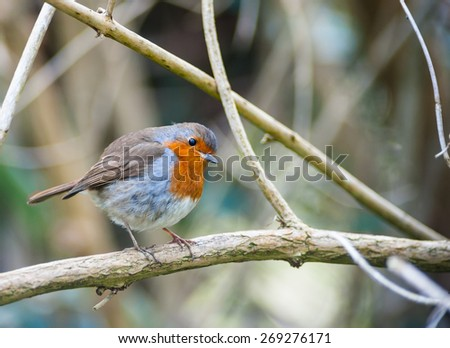 red breasted robin bird perched on a tree branch - stock photo