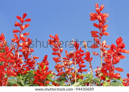 Red bright flowers in flowerbed on the background of blue sky - stock photo