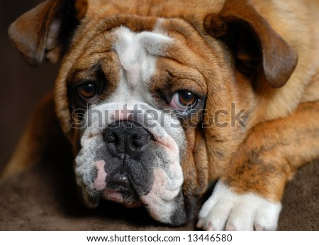 red brindle bulldog 9 months old - champion bloodlines - stock photo
