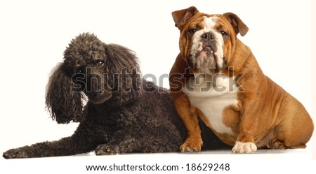 red brindle english bulldog and senior black standard poodle - both champion bloodlines