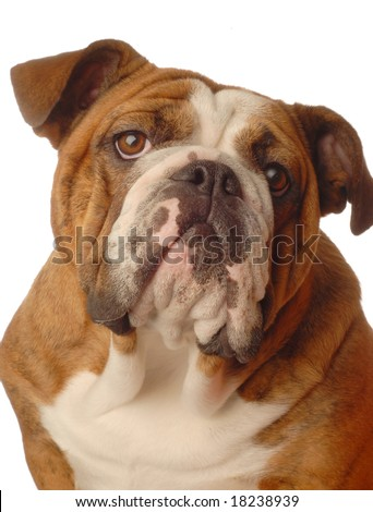 red brindle english bulldog female - one year old - champion bloodlines - stock photo