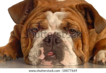 red brindle english bulldog isolated on white background - stock photo