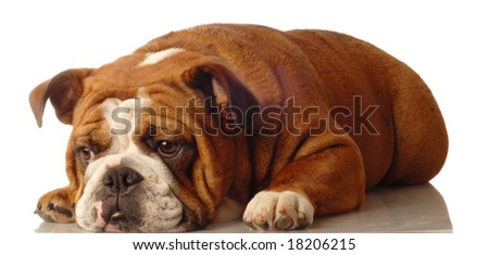 red brindle english bulldog isolated on white - champion bloodlines - stock photo