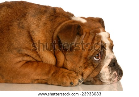 red brindle english bulldog laying down looking upwards with adorable expression - stock photo