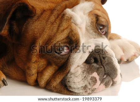 red brindle english bulldog looking up to camera with big bright eyes - stock photo
