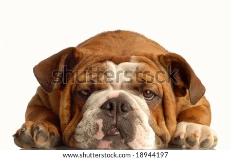 red brindle english bulldog lying down face on with silly expression - stock photo