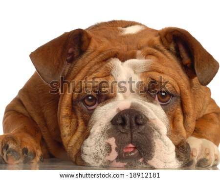 red brindle english bulldog making a funny face - one year old female - champion bloodlines