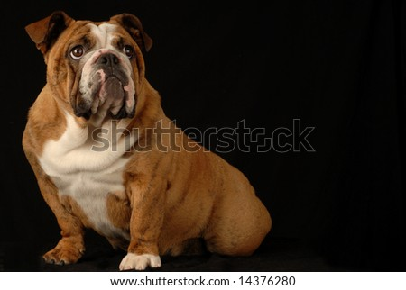 red brindle english bulldog puppy - champion bloodlines - stock photo