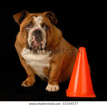 red brindle english bulldog sitting beside orange pylon with guilty expression - stock photo