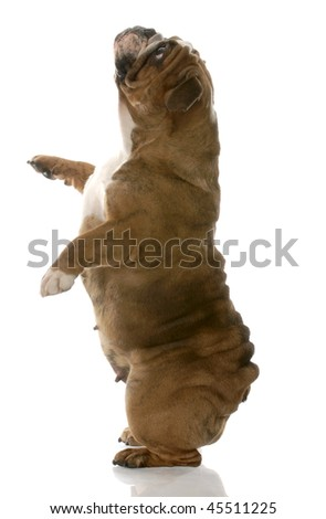 red brindle english bulldog standing up on back legs - stock photo