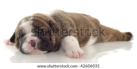 red brindle puppy laying down - three weeks old