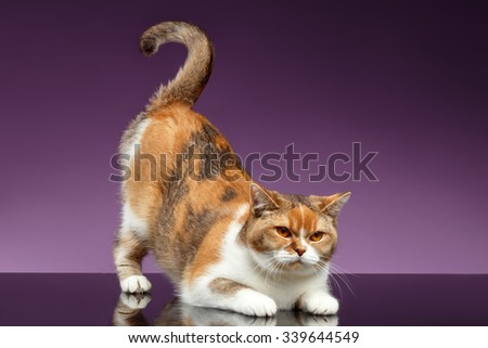 Red British Cat picked up tail like question symbol on Purple Background  - stock photo