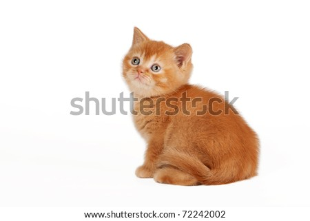 Red british kitten on white background - stock photo