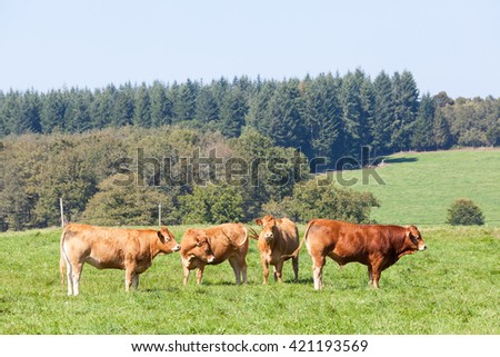Red brown Limousin beef bull with three cows grazing  in a rural lush green summer pasture on a sunny day with light mist in French countryside - stock photo