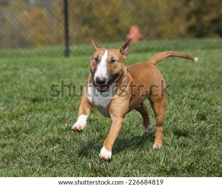 Red bull terrier running through the park - stock photo
