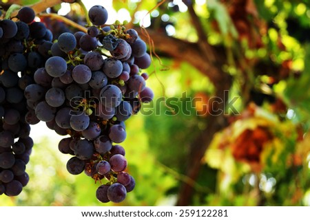 red bunches of grape in the vineyard - stock photo