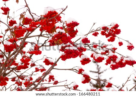 red bunches of rowan on white background