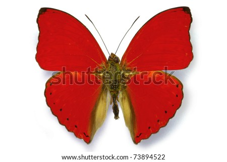 Red butterfly Cymothoe sangaris isolated with shadow - stock photo