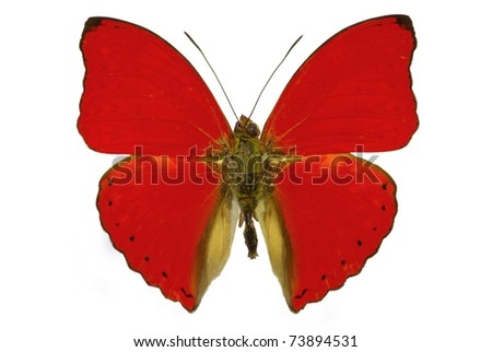 red butterfly Cymothoe sangaris isolated without shadow - stock photo