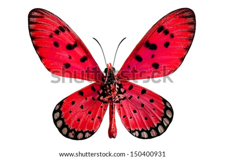 Red butterfly, Tawny coster or Acraea violae, isolated on white background - stock photo