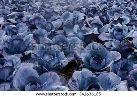red cabbage grow on field - stock photo