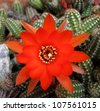 Red cactus blooming - stock photo