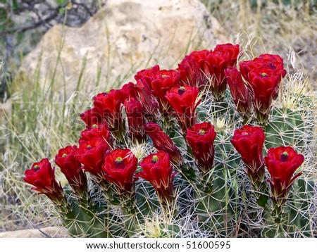 Red Cactus Flowers, Capitol Reef National Park, Utah - stock photo