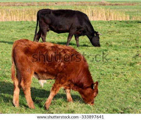 red calf on pasture - stock photo