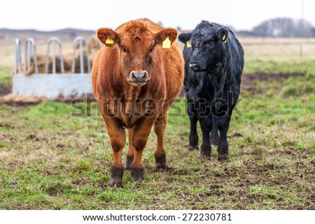 Red calf portrait with an black calf in the background - stock photo