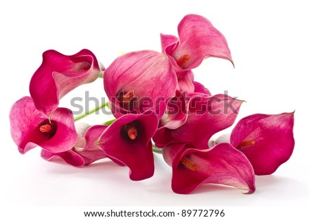 Red Calla beautiful flower on a white background - stock photo