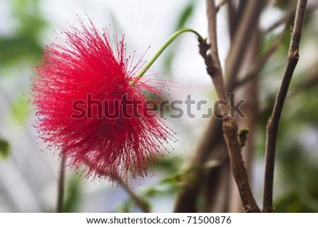 Red Calliandra tergemina emarginata. Powder puff Plant or Fairy Duster - stock photo
