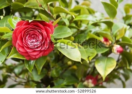 Red camellia - stock photo