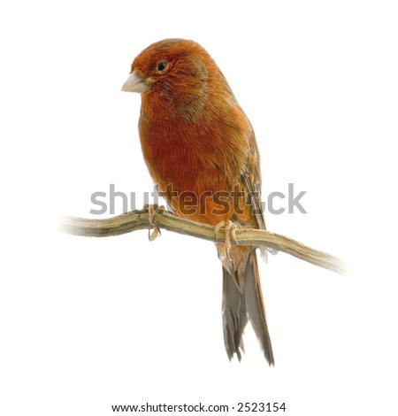Red canary on its perch in front of a white background