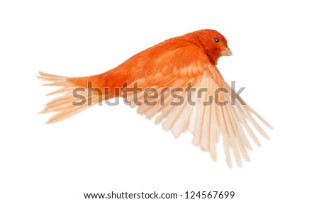 Red canary Serinus canaria, flying against white background - stock photo