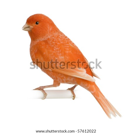 Red canary, Serinus canaria, perched in front of white background - stock photo