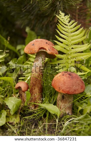 Red-capped scaber stalk in forest (leccinum aurantiacum).Close-up, shallow DOF.