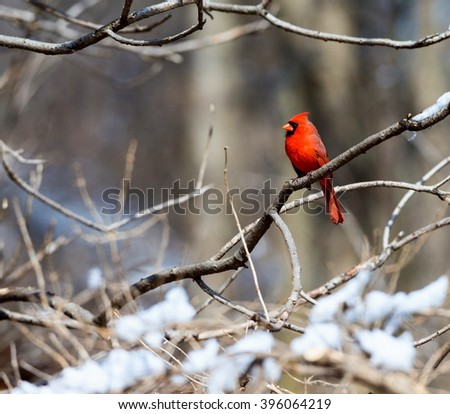 Red Cardinal deep in a forest in the Quebec winter. - stock photo