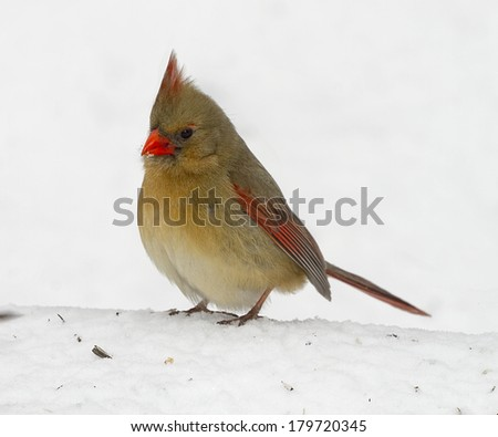 Red Cardinal looking for birdfood after snowstorm - stock photo
