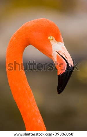 Red Caribbean flamingo close-up head detail - stock photo