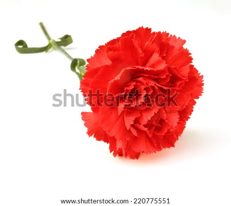 Red carnation - stock photo