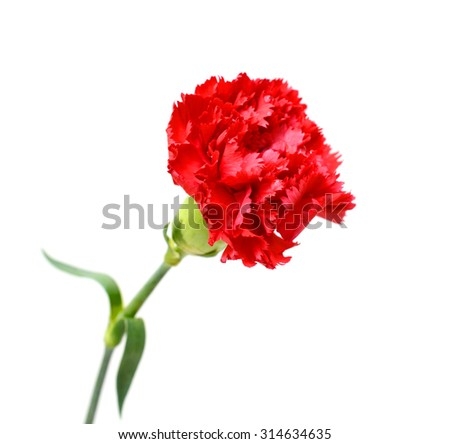red carnation flower isolated on white background - stock photo