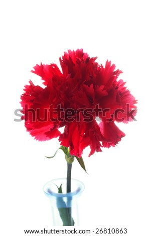 Red carnation flower over white background