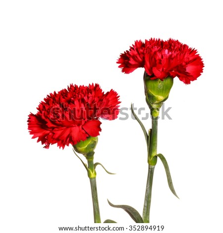 red carnation flowers on white isolated background