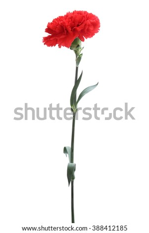 Red carnation isolated on white background - stock photo