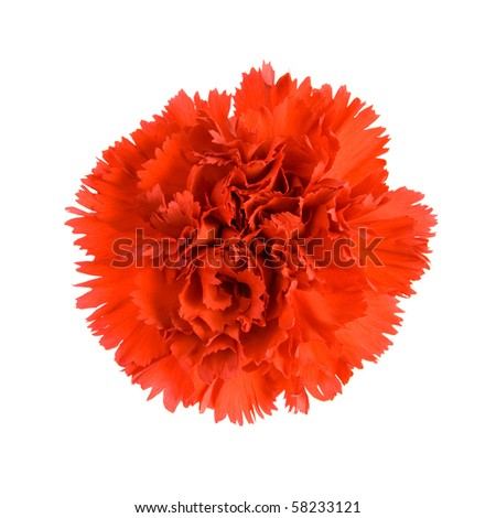 Red Carnation. Isolated on white background. - stock photo