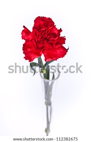red carnation on a white background - stock photo