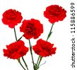 Red carnations blooming - stock photo