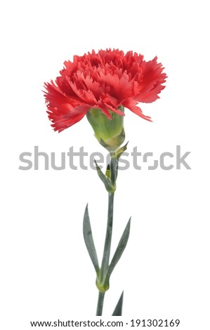 red carnations isolated