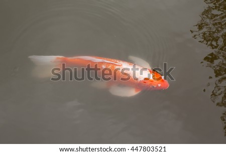 Red carp in water
