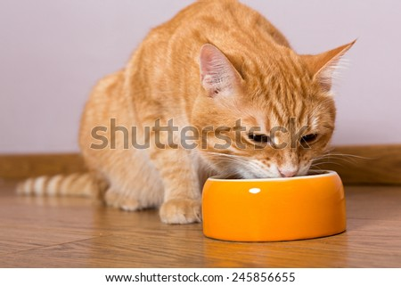 Red cat and bowl of dry food on the wooden floor - stock photo